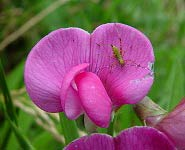 Bug on Lathyrus