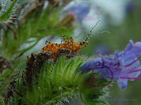 Wheel Bug on Echium